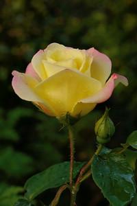 20140629_1605_6931 rose