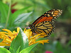 Butterfly and Yellow Zinnia