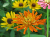 Orange Cactus-Flowered Zinnia