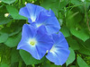 Blue Flowers on the Hottest Day