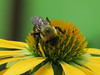 Bee on Yellow Coneflower