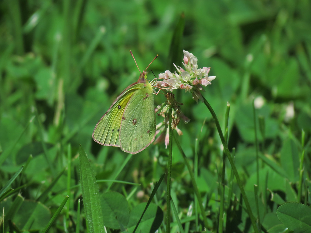 White Butterfly and Clover.