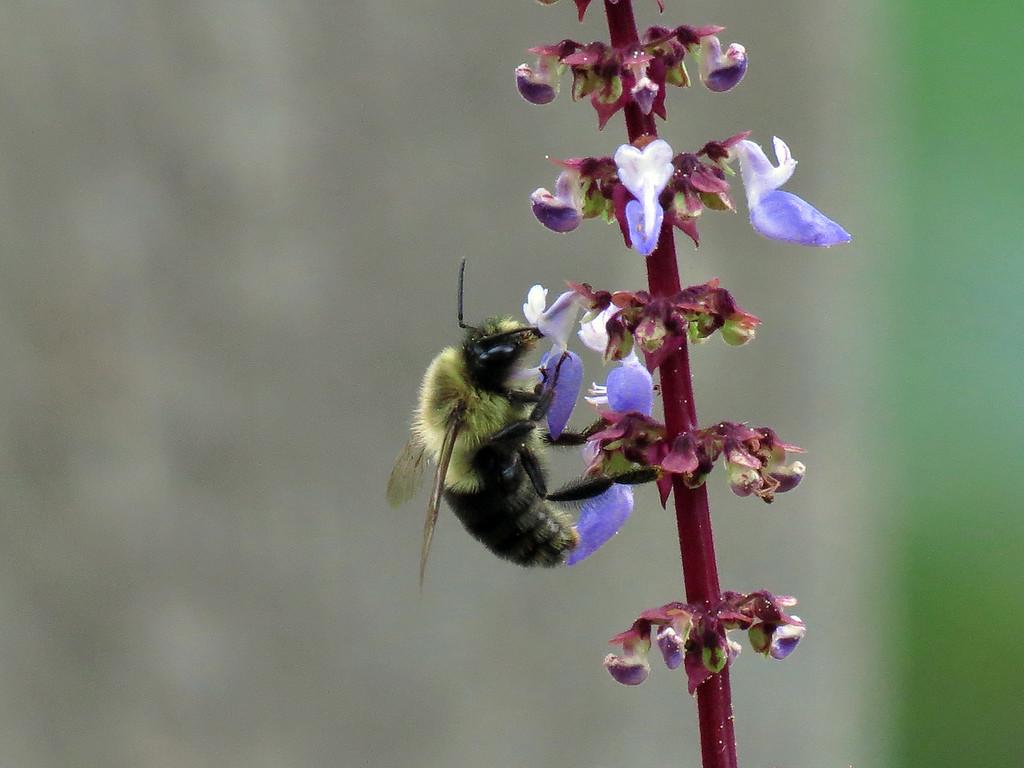 Bee on Coleus flower spike
