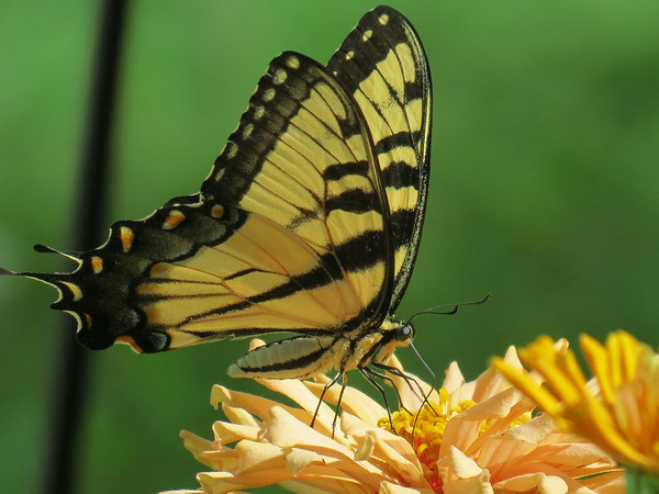 Yellow Swallowtail Butterfly on the cactus flowering Zinnias.