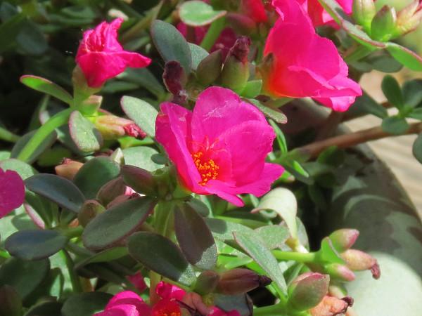Pink Purslane