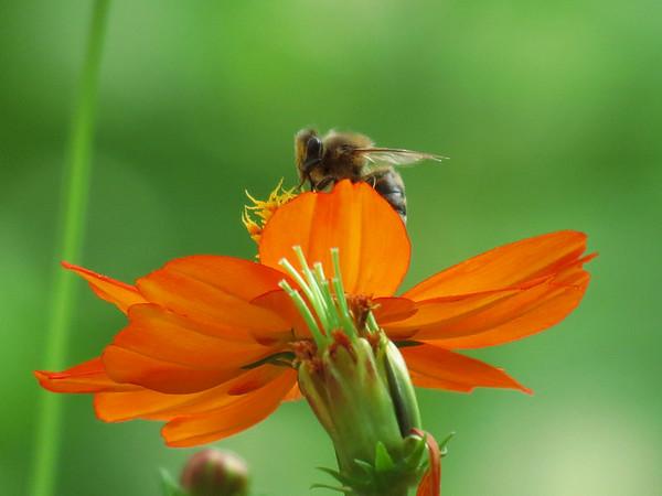 Honey Bee on Orange Cosmos