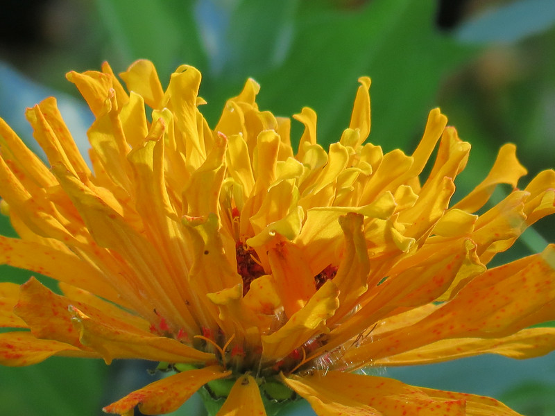 Yellow Zinnia on Very Hot August Day