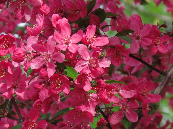 Prairie Fire Crab Apple Tree in Spring with Honey Bee.