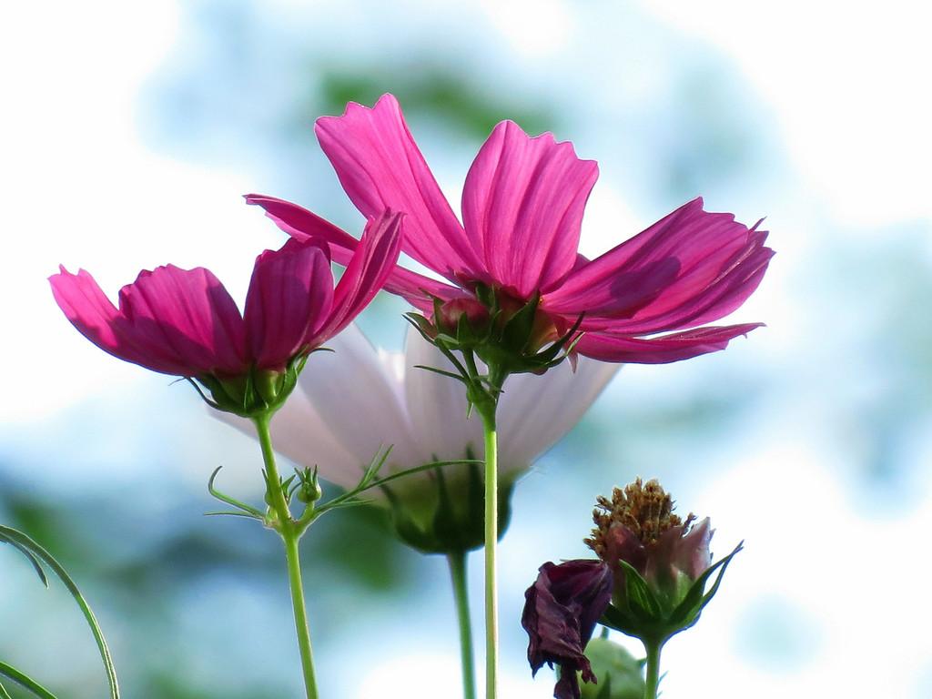 Pink Cosmos -- High Key