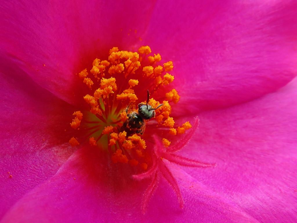 Tiny Bee in Purslane