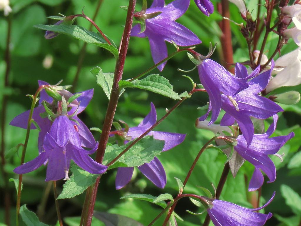 Blue Bells in the Front Garden