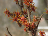 Witch Hazel in March