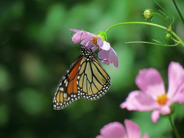Monarch Butterfly in the Patio Garden.