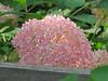 Invincible Pink Hydrangea