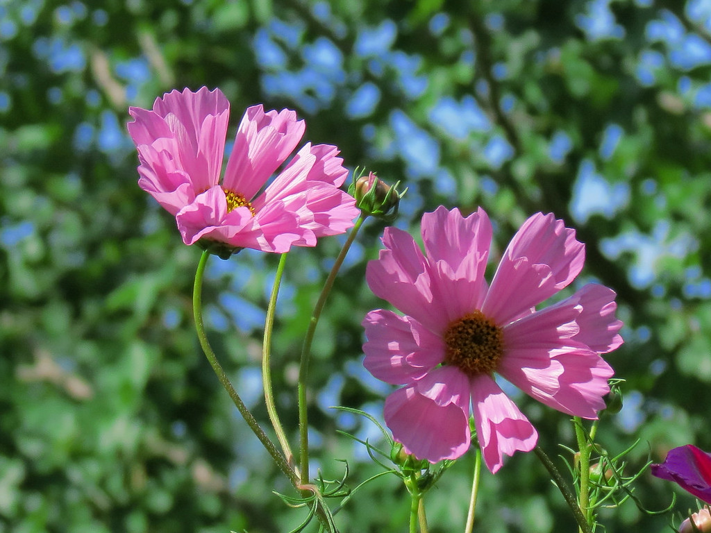 Pink Sea Shell Cosmos