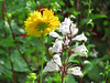 Yellow Coreopsis and White Penstemon