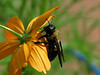 Giant Bee on Yellow Cosmos