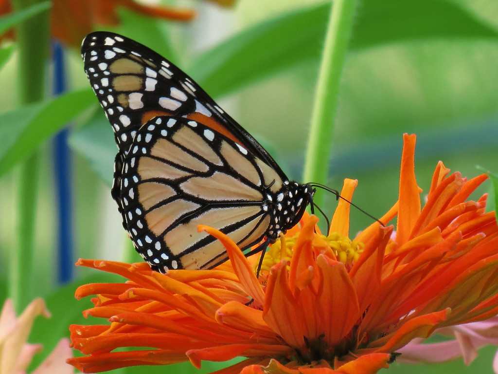 Monarch Butterfly on Orange Zinnia