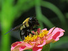 Bee at Pink Zinnia