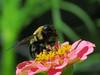 Bee at Pink Zinnia