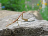 Baby Preying Mantis