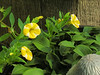 These small yellow and white flowers of the Calibrachoa are reaching into a pot of mini Hostas.
