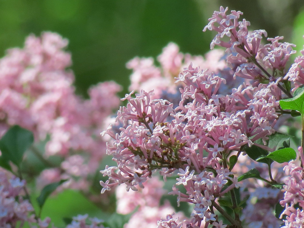 The Lilac Tree is blooming,