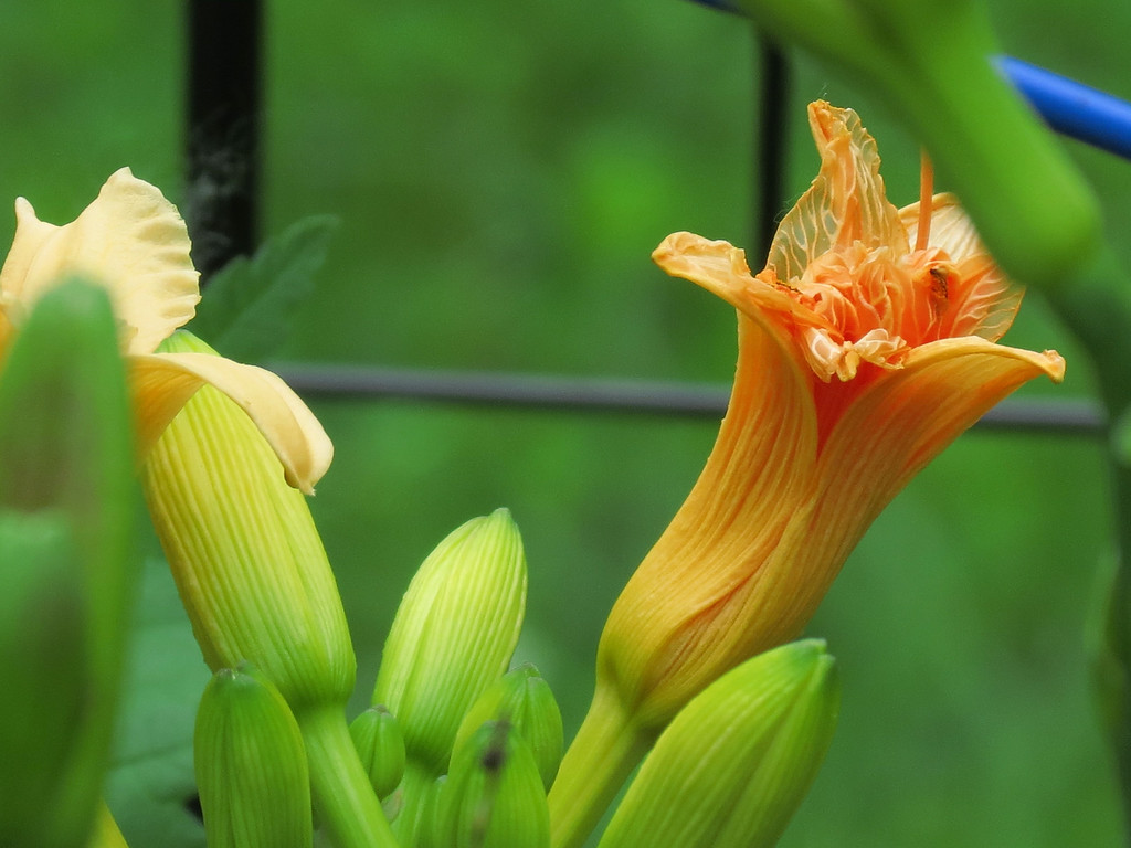 Daylily flower buds and a flower that has gone by.