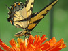 Yellow Butterfly and Orange Zinnia
