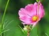 Tall Pink Cosmos in the Patio Garden.