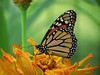 Monarch Butterfly on Yellow Zinnia