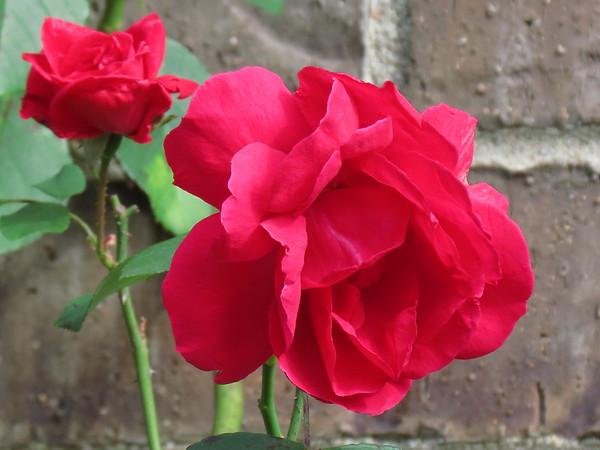 Red Rose in October