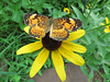 Butterfly and Rudebeckia