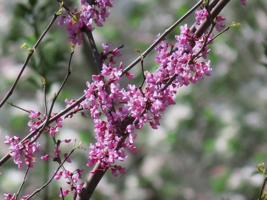 The Forest Pansy Red Bud Tree in Spring.
