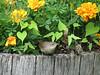Wren and Marigolds in Whiskey Barrel