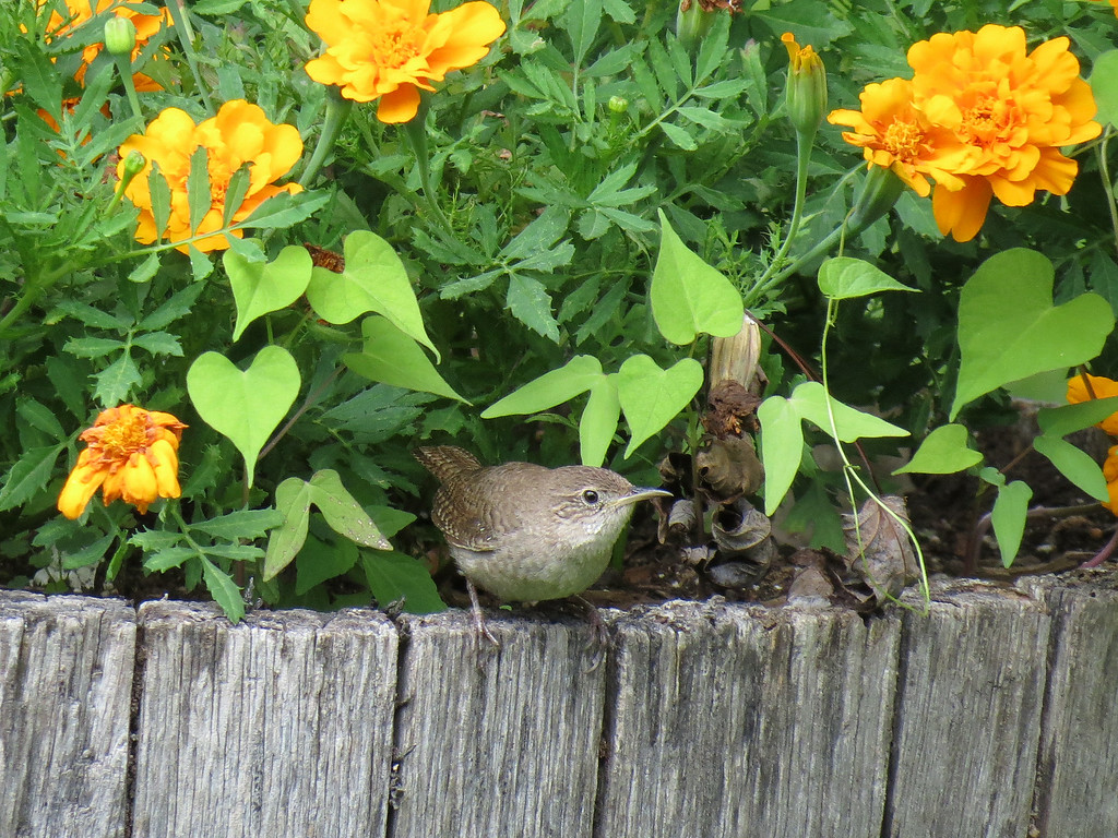 Wren and Marigolds in Whiskey Barrel