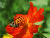 Striped Bee on Orange Cosmos