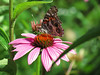Butterfly and purple coneflower