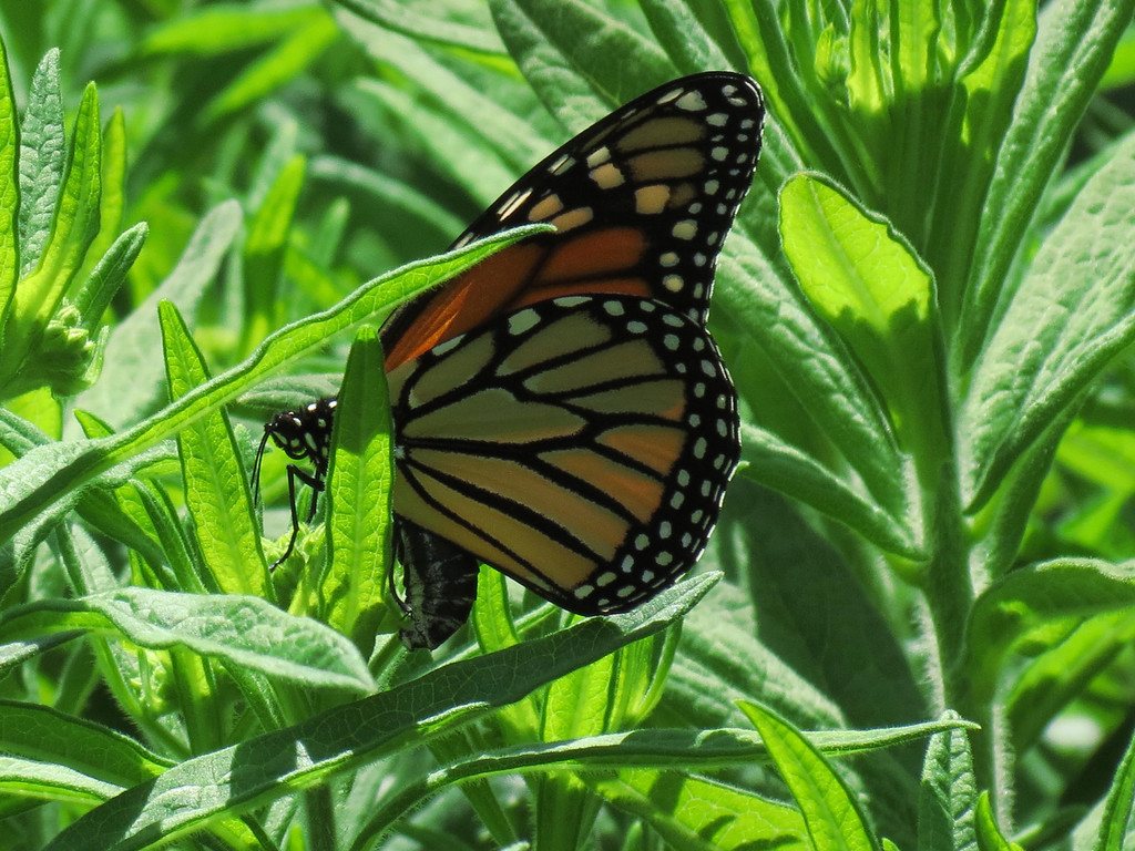 A Monarch Butterfly laying its eggs in May on Asclepias in the Patio Garden.