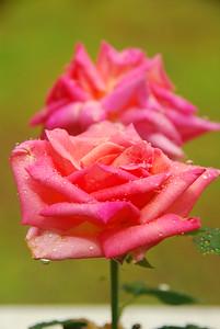 """Peace"" Rose"