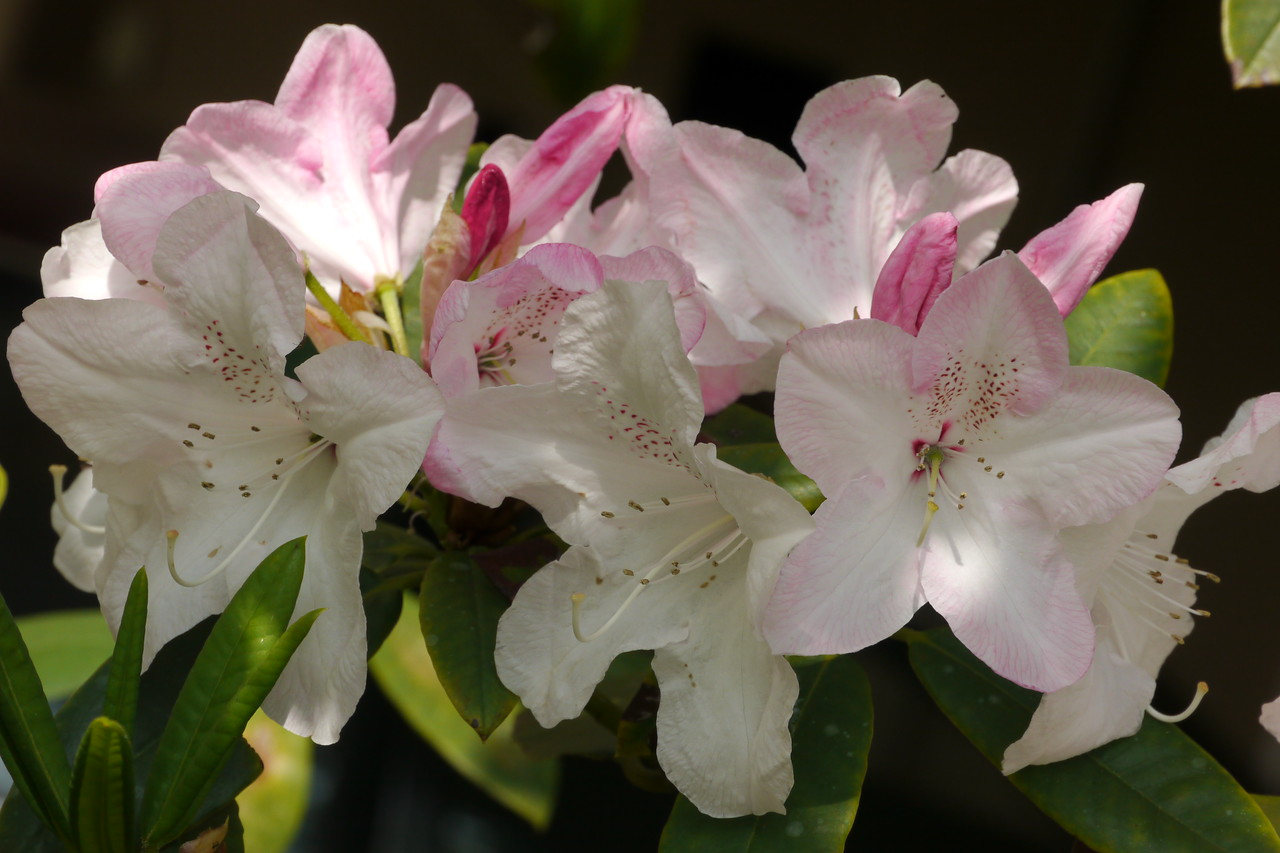 20141023_1516_8894 rhododendron