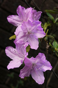 20141015_1651_8551 rhododendron