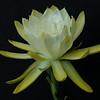20141130_0714_1431 epiphyllum
