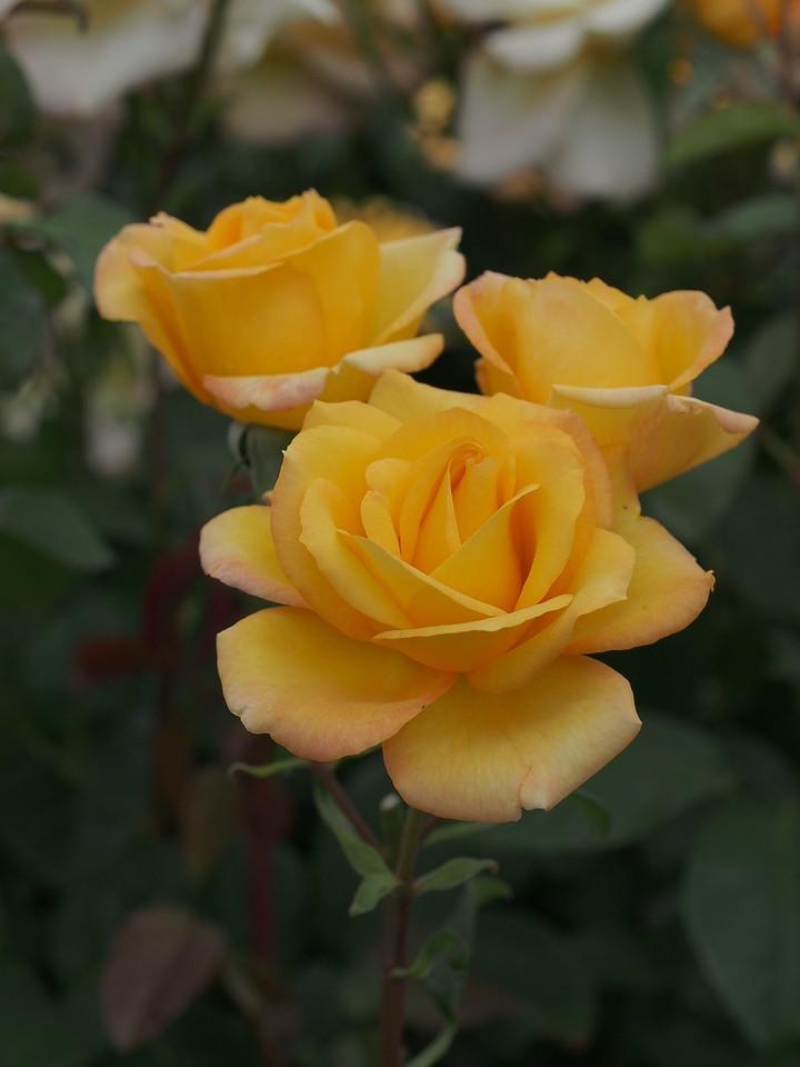 20141104_1321_0210 roses