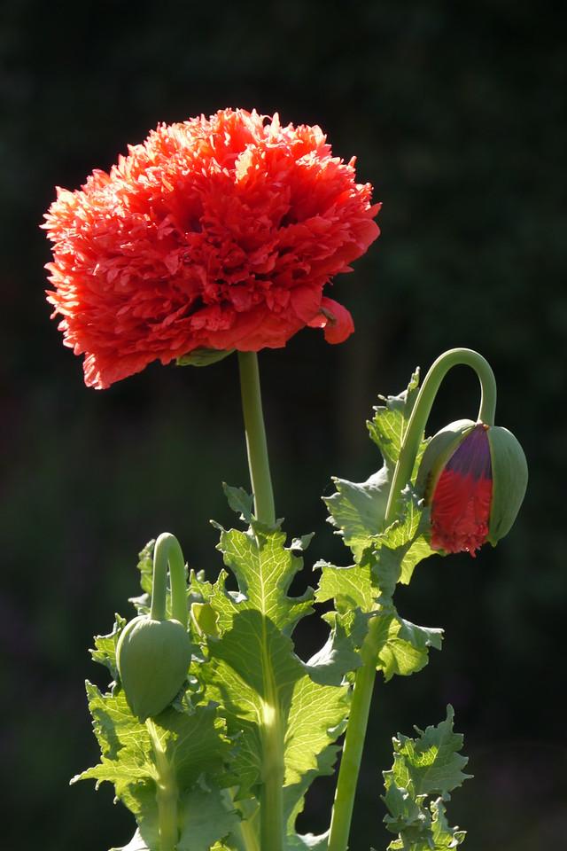 20141014_0905_8498 poppy