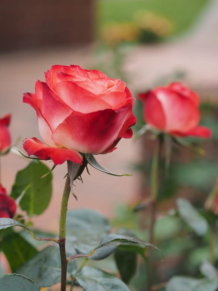 20141104_1348_0230 roses