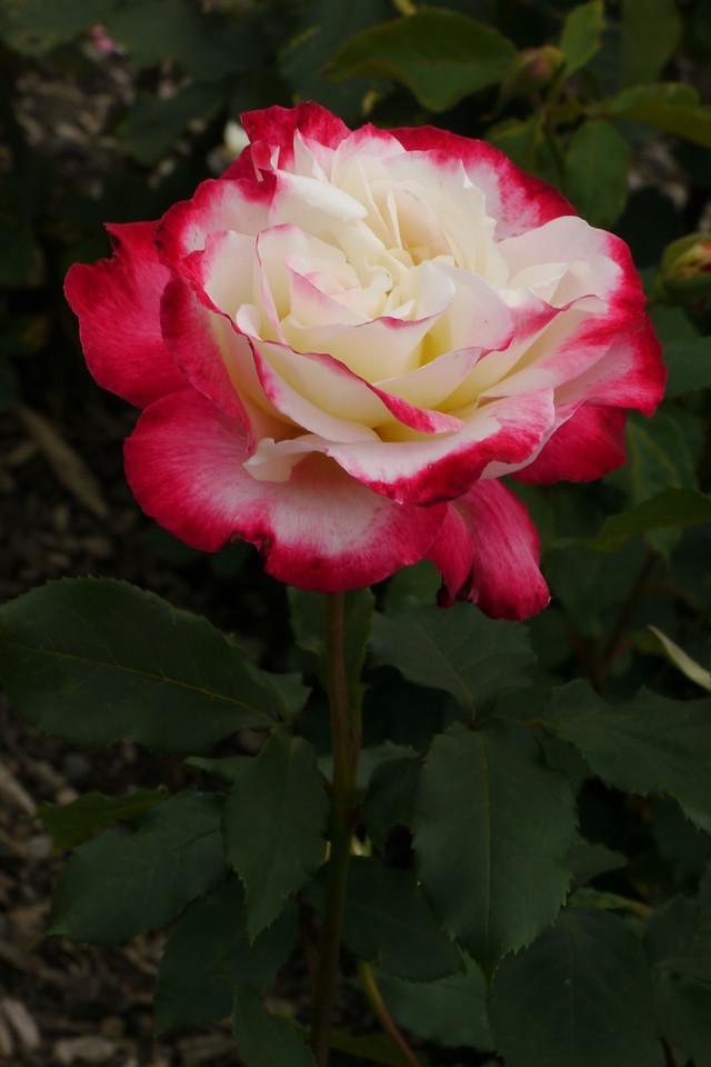 20141104_1302+9323 rose