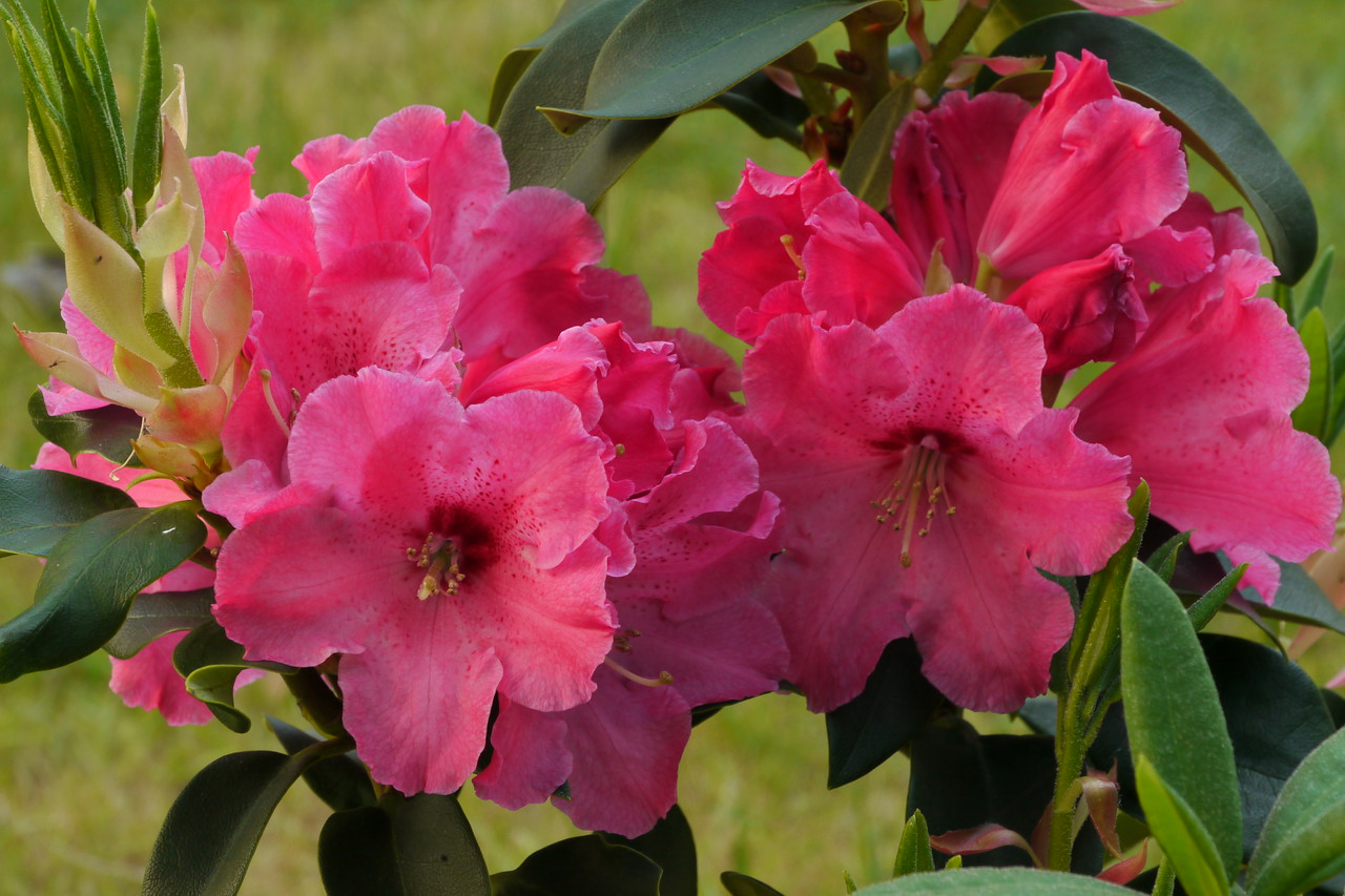 20141024_0823_8997 rhododendron (Stephen Fong, Panasonic GH-1)