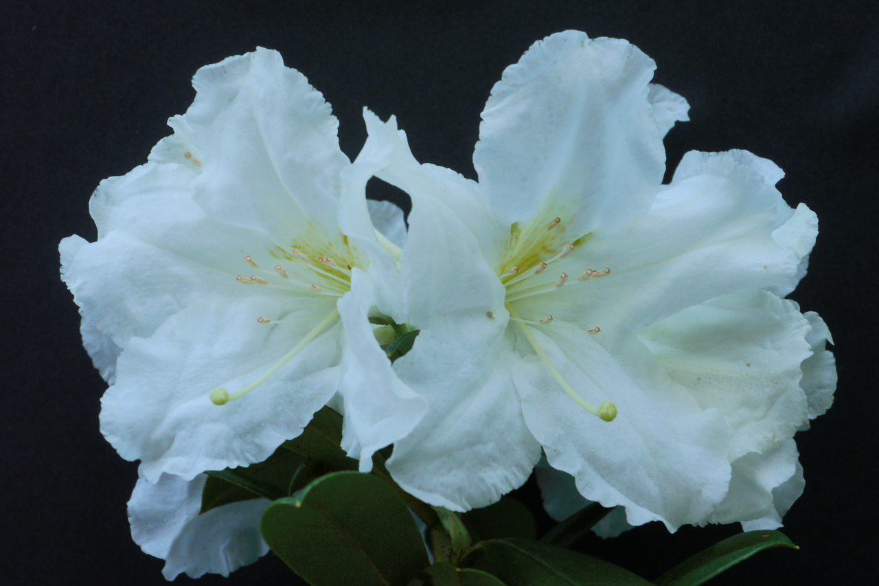 20140928_1120_8055 rhododendron