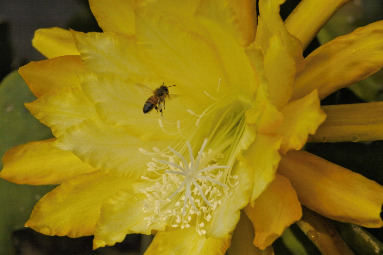 20141125_0705_2109 epiphyllum and bee